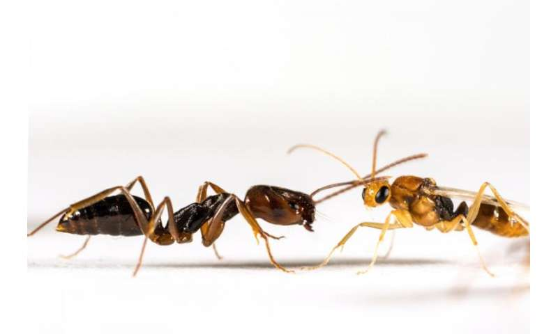 Mixed signals: Study finds insect species use very different chemicals to identify queens