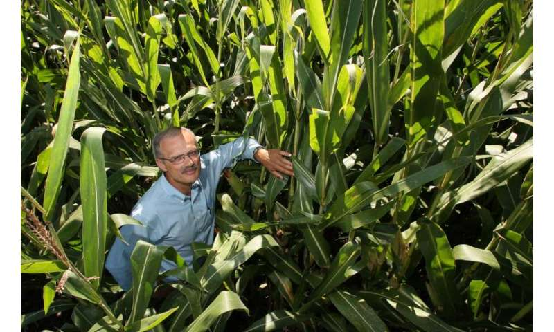Modern corn hybrids more resilient to nitrogen stress, crowded planting conditions