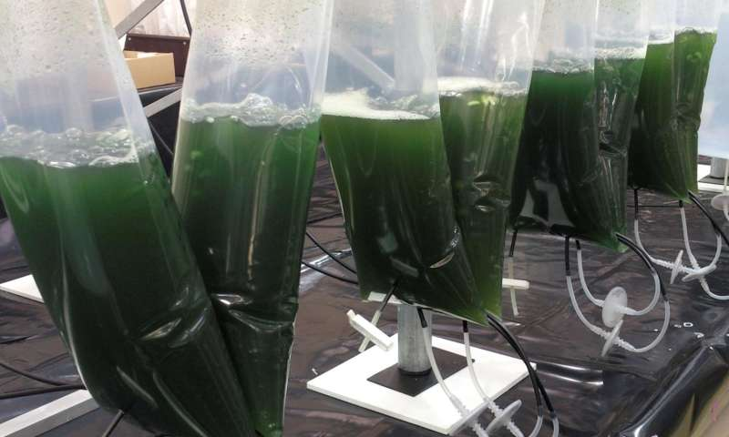 Modified microalgae converts sunlight into valuable medicine