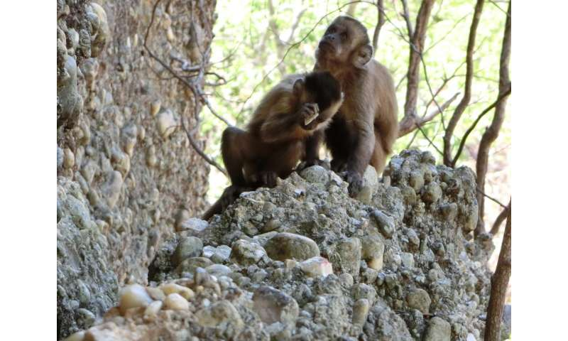 Monkeys are seen making stone flakes so humans are 'not unique' after all