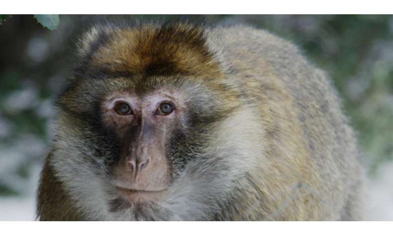 Monkeys regulate metabolism to cope with environment and rigours of mating season