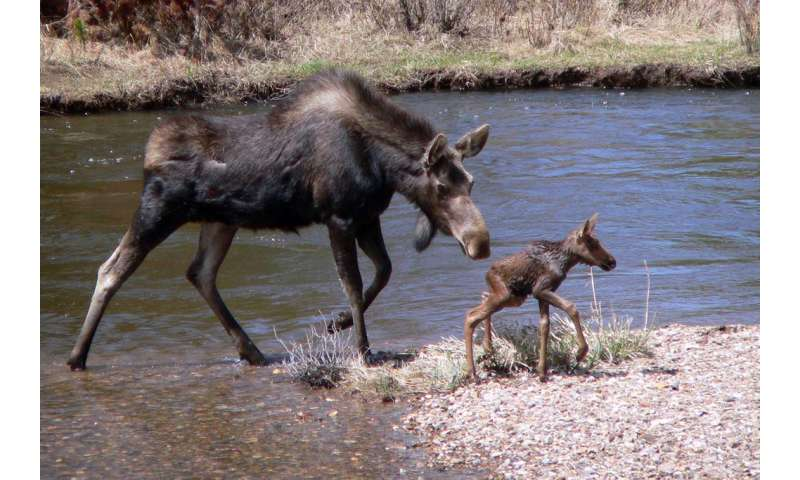 Moose and her offspring, Rocky Mountain National Park, USA