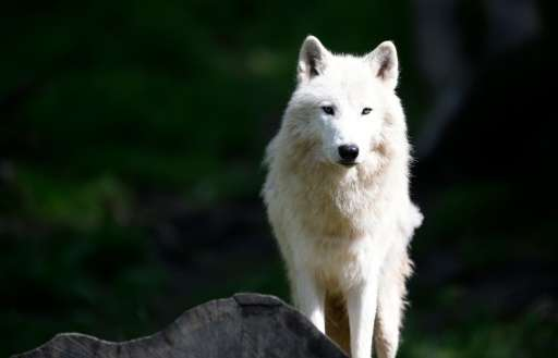 Most wolf populations are on the rise but scientists warn that top carnivores deprived of prey will come into closer contact wit
