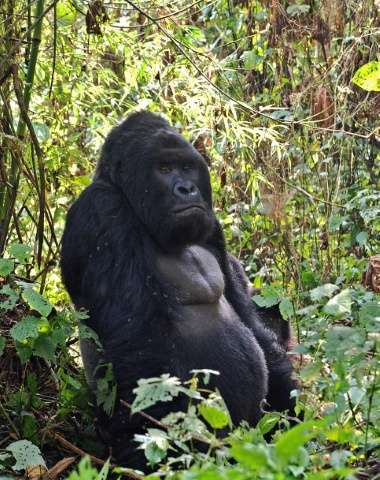 Mountain gorillas in Virunga National Park, Africa's oldest nature reserve, face the same threats as their human neighbours: arm