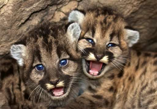 Mountain lion kittens found in mountains near Los Angeles