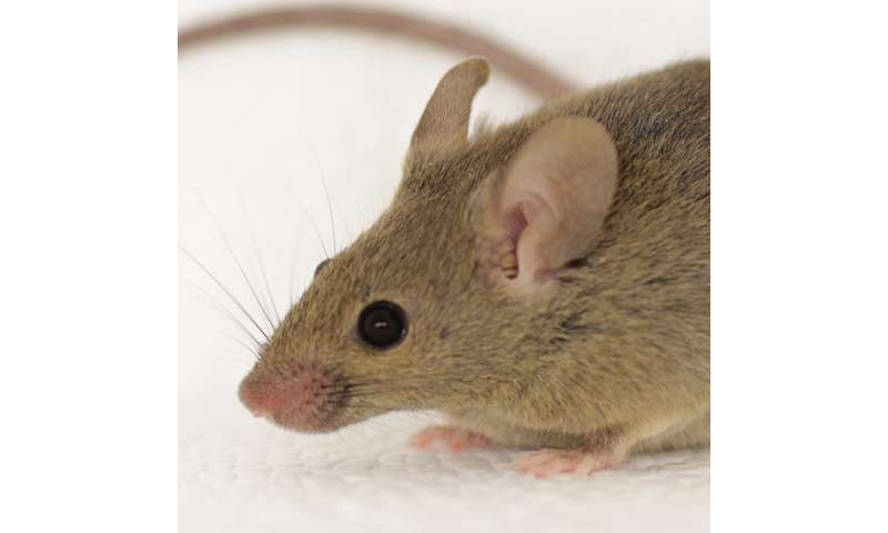 Mouse urine reveals mechanism for individual scents