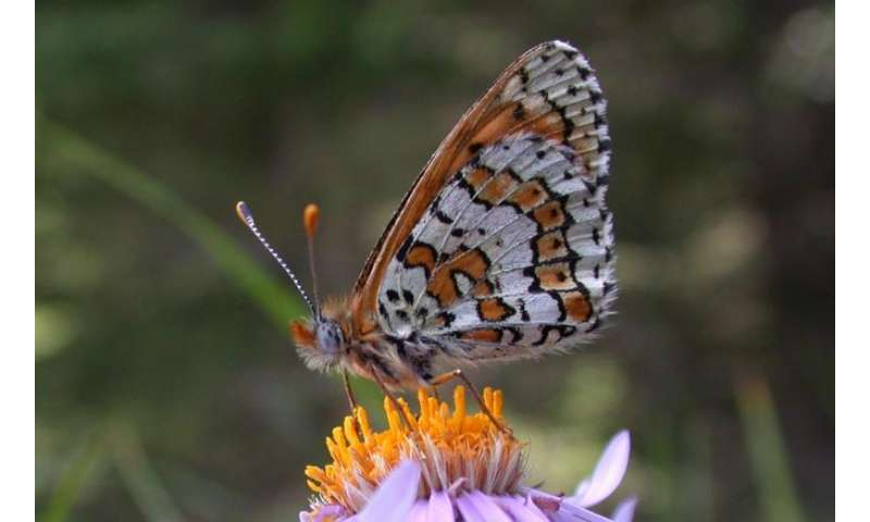 Museum samples of extinct butterfly populations show how populations rise and fall