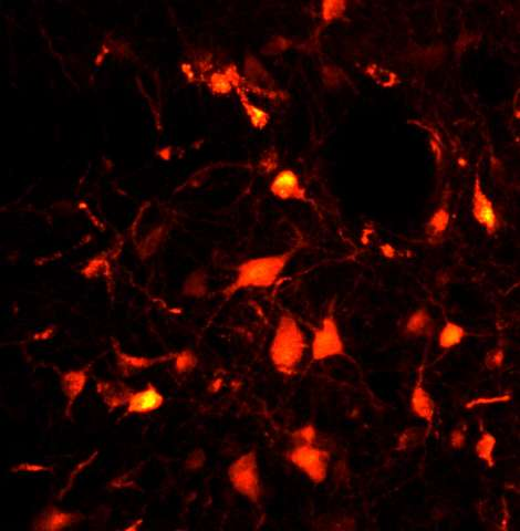 Neurons paralyze motor function during REM sleep