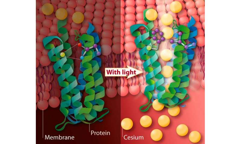 New bacterial pump could be used to remove cesium from the environment by light