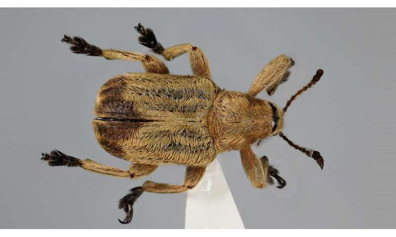 New Chinese leaf-roller weevil does not know how to roll leaves