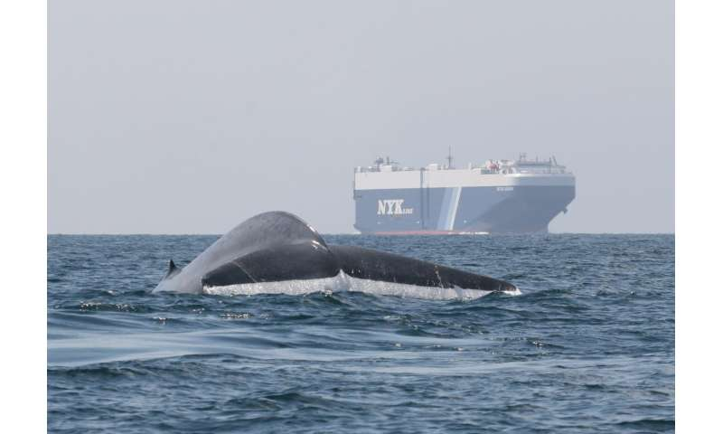 New forecast tool helps ships avoid blue whale hotspots