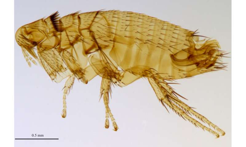 New genus and five new flea species discovered in Indonesia