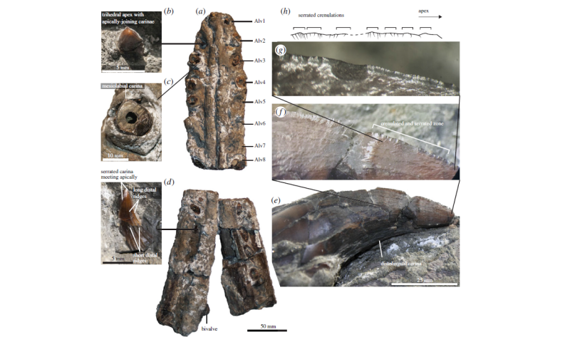 Newly discovered pliosaur terrorised ancient Russian seas