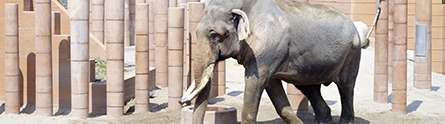 New measures to improve the welfare of captive elephants in UK