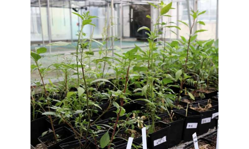 New method developed for testing herbicide resistance in weeds