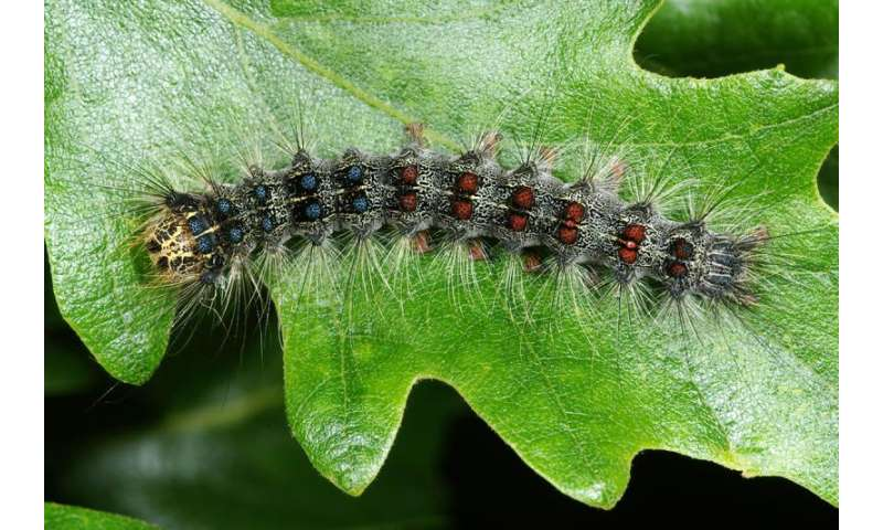 New pathogen takes control of gypsy moth populations