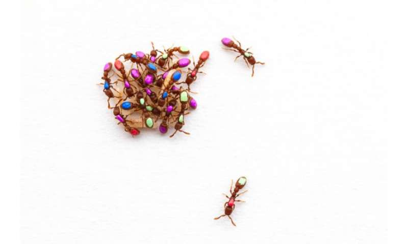 New study challenges popular explanation for why a social insect becomes a worker or queen