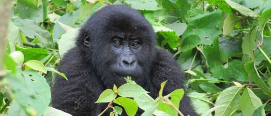 New study documents shocking collapse of gorilla subspecies during 20 years of civil unrest