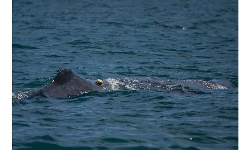 New tag revolutionizes whale research