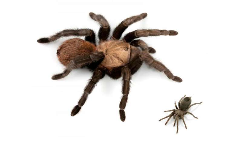 New tarantula named after Johnny Cash among 14 spider species found in the United States