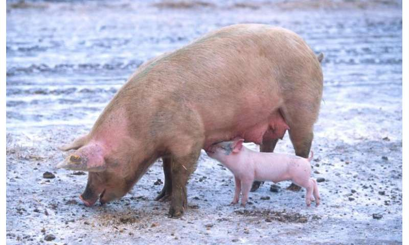 New virus transmission route discovered in pigs