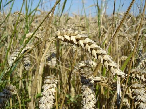 New wheat crops as an alternative to a gluten-free diet