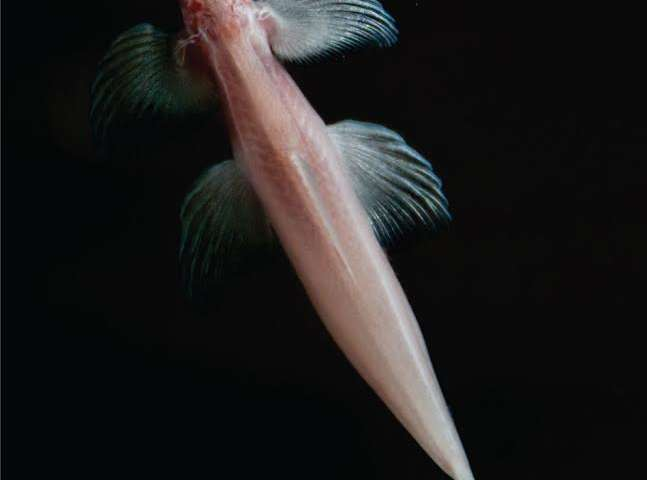 NJIT researchers make a major cavefish discovery in Thailand