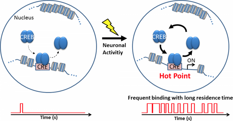 Novel insights into neuronal activity-dependent gene expression by CREB