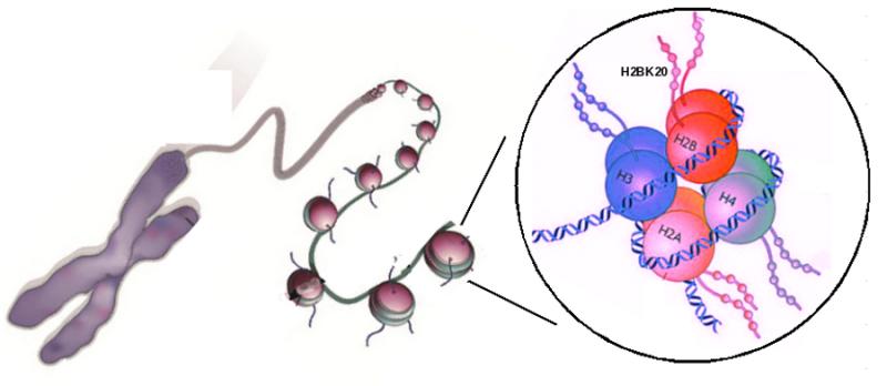 Novel study on histones provides better understanding of gene regulation
