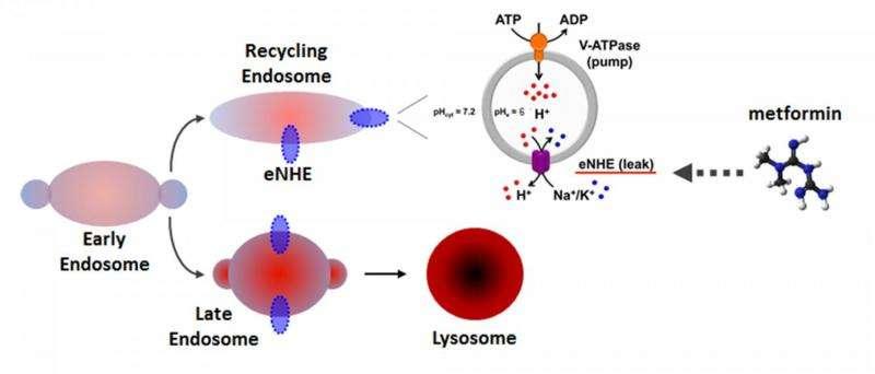 Novel Target for Diabetes Drug Identified as Ion Exchanger