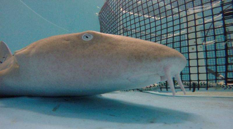Nurse shark at Mote - closeup