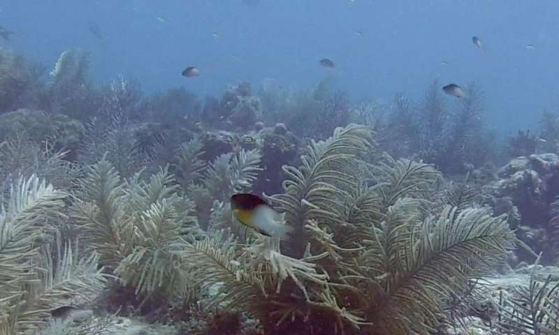Offspring from fat fish on deep reefs help keep shallower populations afloat
