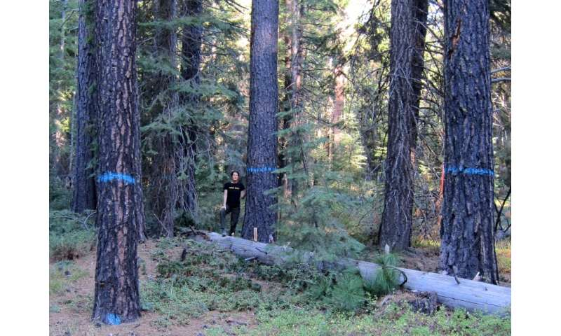 Old-growth trees marked for logging as part of a US Forest Service fuels reduction project.