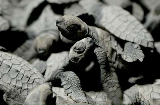 Olive ridleys are among five species of sea turtles in the Philippines that are in danger of extinction, mostly because they are