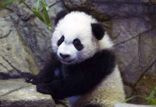 Panda cub gets meds in sweet potato after tummy surgery