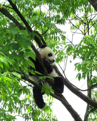 "Pandas status improved from ""endangered"" to ""vulnerable"" due to intensive conservation efforts by China"