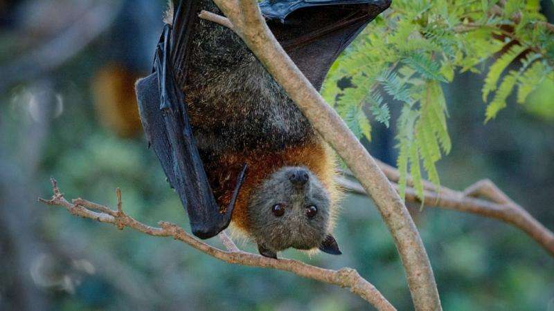Parasite that gives people a real bellyache during summer also found in bats