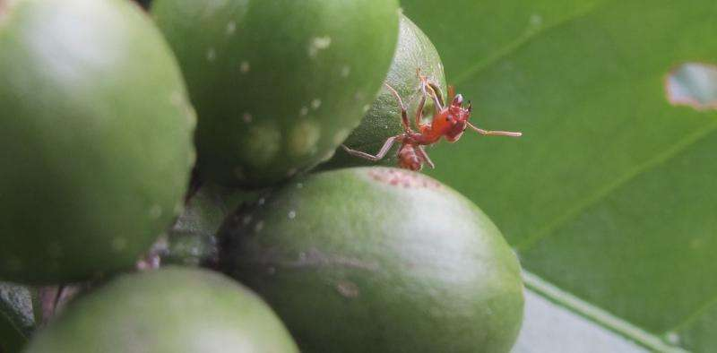 Parasitic flies, zombified ants, predator beetles – insect drama on Mexican coffee plantations