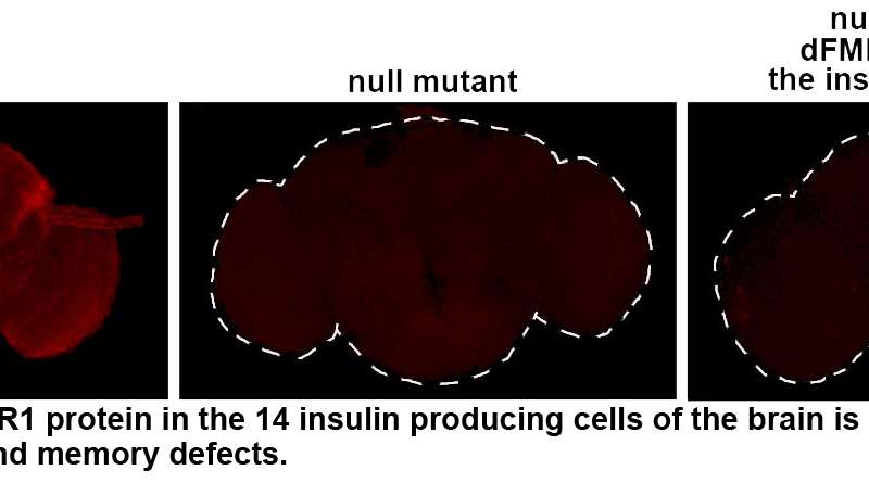 Penn study on fragile X syndrome uses fruitfly's point of view to identify new treatments