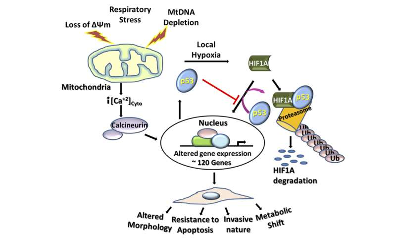 Penn team finds mitochondrial stress induces cancer-related metabolic shifts