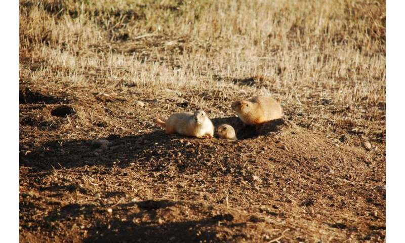 Plague-riddled prairie dogs a model for infectious disease spread