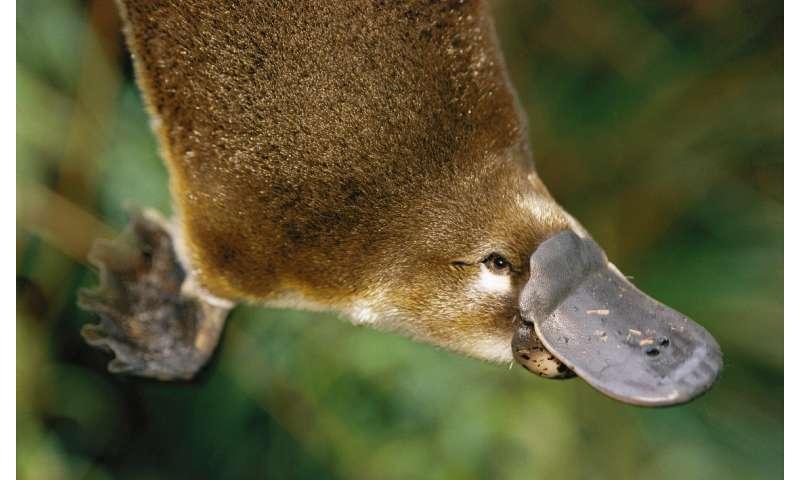 Platypus venom could hold key to diabetes treatment
