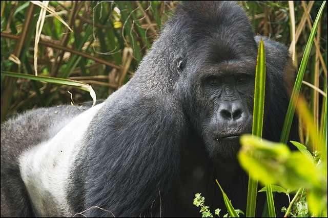Population analysis suggests Grauer's gorilla is Critically Endangered