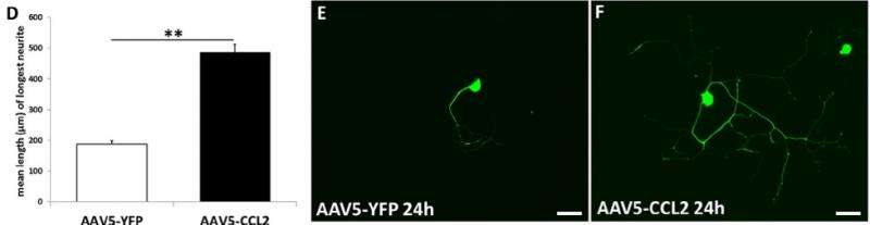 Powerful protein promotes post-injury regeneration and growth of injured peripheral nerves