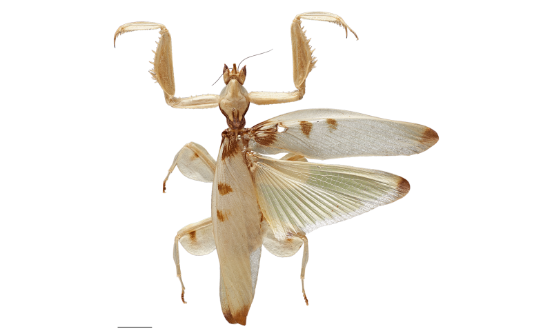 Predation on pollinating insects shaped the evolution of the orchid mantis