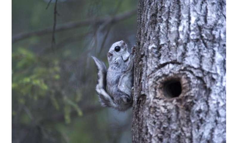 Predicting suitable habitats for the Siberian flying squirrel in different felling scenarios