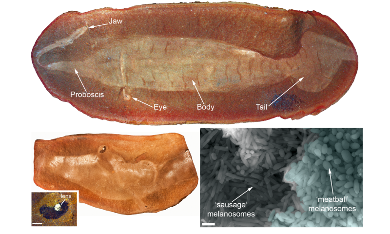 Prehistoric peepers give vital clue in solving 300 million year old 'Tully Monster'