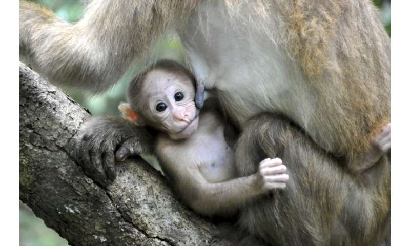 Prenatal stress accelerates growth and inhibits the motoric development of unborn monkeys