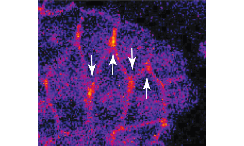 Protein points cells in the right direction for migrations in developing tissues