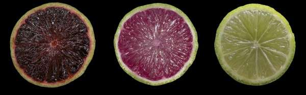 Purple limes and blood oranges could be next for Florida citrus